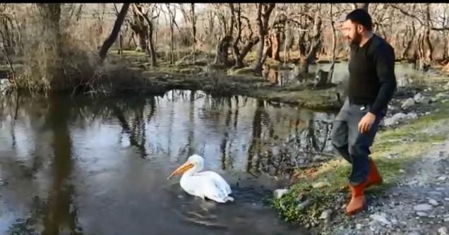Tedavi edilen pelikan göle bırakıldı