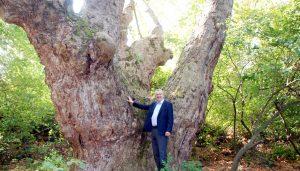 Karacabey'de bin 100 yaşında çınar ağacı bulundu