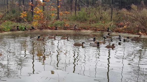 Uluabat'da ipe bağlanan  ördekler kurtarıldı