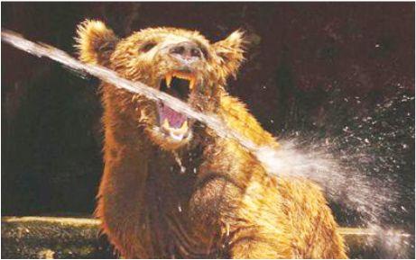 Boz ayılar Karacabey'de