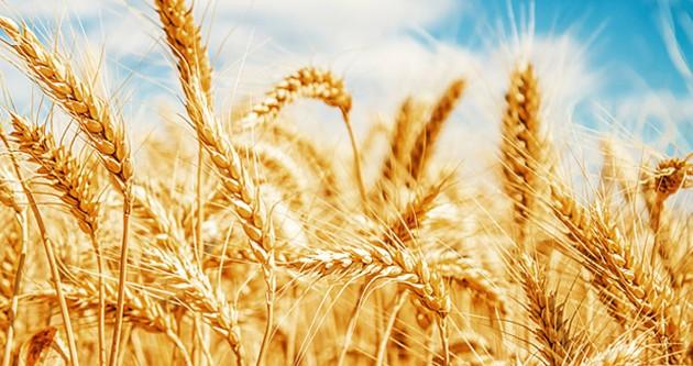 TMO 2 milyon 625 bin tonluk buğday alımı yaptı