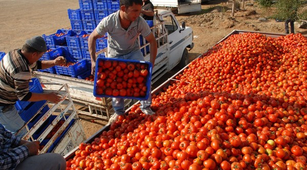 Karacabeyli domates üreticisi isyanda!