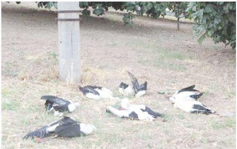 """""""Elektrik telleri leylekleri öldürdü"""" iddiası!"""