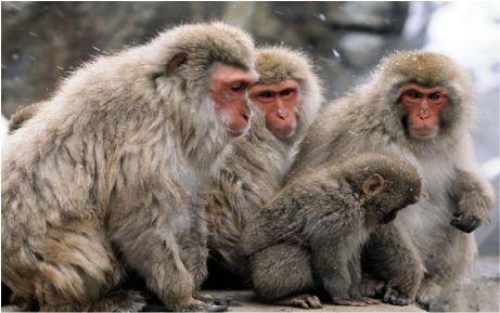 Firarı maymunlara beş yıldızlı tedavi
