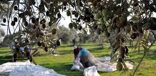 Üretici zeytin fiyatlarının açıklanmasını bekliyor