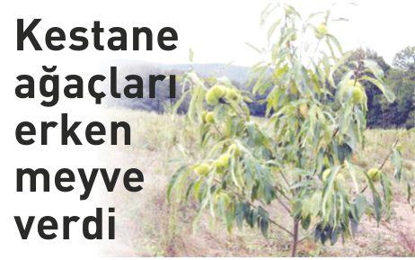 Kestane ağaçları erken meyve verdi