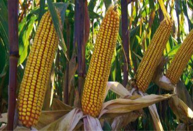 Tohumluk mısır ekim alanları açıklandı
