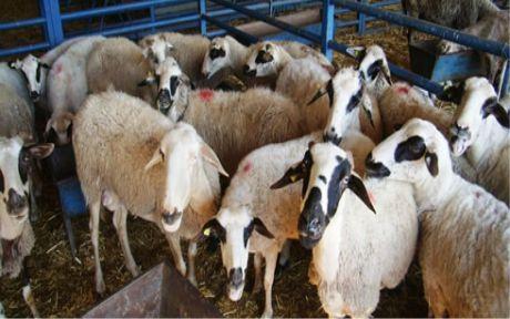 Mustafakemalpaşa'da  koyun hırsızlığı