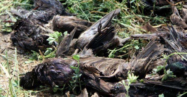 Şiddetli yağan dolu yüzlerce kuşu telef etti