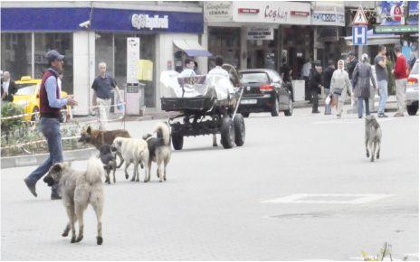 Sokak köpekleri can sıkıyor!